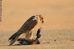 Kill To Live (A.alFoudry) Tags: life sunset wild bird canon eos kill desert eagle killing live wildlife eat kuwait usm ef hunt kuwaiti q8 30d survive abdullah 400mm    kuw canoneos30d q80 f56l  xnuzha alfoudry canonef400mmf56lusm canon400l  abdullahalfoudry foudryphotocom