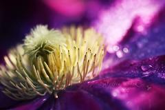 (  ) (slcook52 (Sylvia)) Tags: flower macro waterdrop purple bokeh clematis explore fff inmyyard sigma105mmf28 perfectpurplesaturday copyrightedallrightsreserved