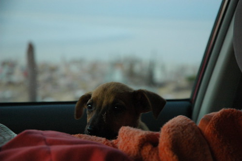 My puppy, Rose Alice Lane, right as she was rescued, and is sitting in on the front seat of my Toyota in an orange towel, fearful, happy, San Rosalia Cemetery, Baja California Sur, Mexico by Wonderlane