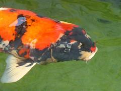 Koi Fishes #1 (ighosts) Tags: water colors swimming fishes freshwaterfish ornamentalfish koifishes acquariumfish