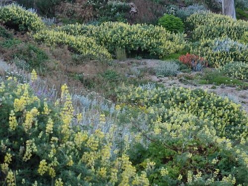 Bush Lupines