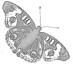 Common Buckeye Coloring Page 2
