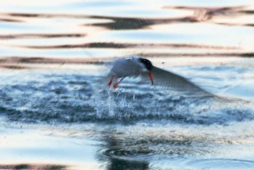 Seeschwalbe beim Fischfang
