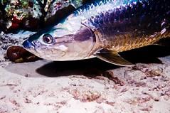 Tarpon (jnhPhoto) Tags: ocean sea beach coral digital nikon underwater wildlife places scuba scubadiving tropics tarpon bonaire saltwater d300 nightdive seaandsea buddydiveresort
