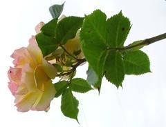 15964- 玫瑰 꽃 연분홍 장미 màu hồng ピンク 연분홍 粉红色 Rose (Rolye) Tags: flowers france flower fleur colors fleurs yahoo google view image great picture samsung blumen www images best views excellent com msn aol baidu tw thebest ops 薰衣草 çiçekler lehavre 꽃 鲜花 玫瑰 цветы 法国 粉红色 장미 明信片 玫瑰花 nv7 핑크 라벤더 attnet 연분홍 颜色图像