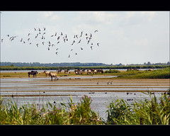 horses............. (atsjebosma) Tags: summer horses lake nature birds landscape geese nationalpark thenetherlands vogels ducks ganzen friesland paarden lauwersmeer zeilboot eenden sailingboat koniks anawesomeshot theunforgettablepictures july2009 atsjebosma vosplusbellesphotos