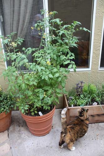 Tomato Pot