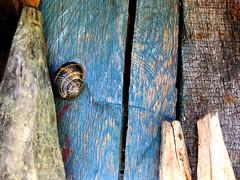caracol miricol (pintas!) Tags: blue naturaleza nature azul madera colores animales texturas caracol palos chabola estacas