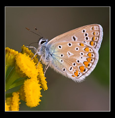 icarus blue butterfly (holland fotograaf [on/off]) Tags: macro love closeup butterfly iso100 dof icarus capture tamron90mm f13 polyommatus ultimateshot specinsect canon40d excapturemacro small0ne
