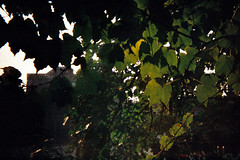 Seen it through the grapevine (LindySlav) Tags: sunset plants grapevines holga135