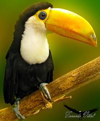 Tucn (Facu551) Tags: naturaleza bird nature ave tucan tucana tucn tupi ramphastidae facu551 ranfstidos ranfastidos