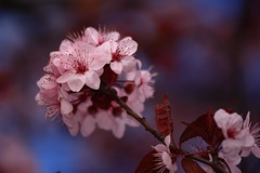 Cherry blossom ball / 櫻花球 (kth517) Tags: flowers spring australia cherryblossoms southmelbourne sukura 櫻花球