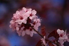 Cherry blossom ball /  (kth517) Tags: flowers spring australia cherryblossoms southmelbourne sukura