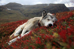 Dreaming (Peter Przybille) Tags: norway norge husky lappland norwegen lapland troms alaskanhusky 100commentgroup