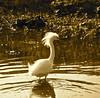 Glowy Egret (alfuso) Tags: birds egret waterbirds snowyegret marshes impressedbeauty impressedbyyourbeauty
