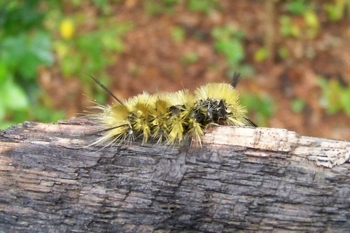 Dagger Moth Caterpillar