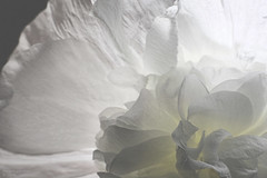 Ho(l)lyhock (eMMa_bOOm) Tags: white flower holland colour macro nature dutch yellow petals heart natural fluffy pale transparency sacred innocence translucent veins backlit transparent hollyhock luscious flowerheart anawesomeshot cestsibon vanagram thedailypost artofimages wiobw