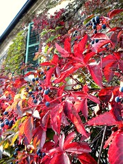 i colori dell'autunno.....colors of autumn..... (pierale ) Tags: autumn red italy house color colour green home colors leaves foglie casa leaf nikon italia colours persiana piemonte shutter foglia autunno rosso piedmont grapevine persiane abitazione s630 pierale vitevergine theauthorsplace allegtisinasceosidiventa