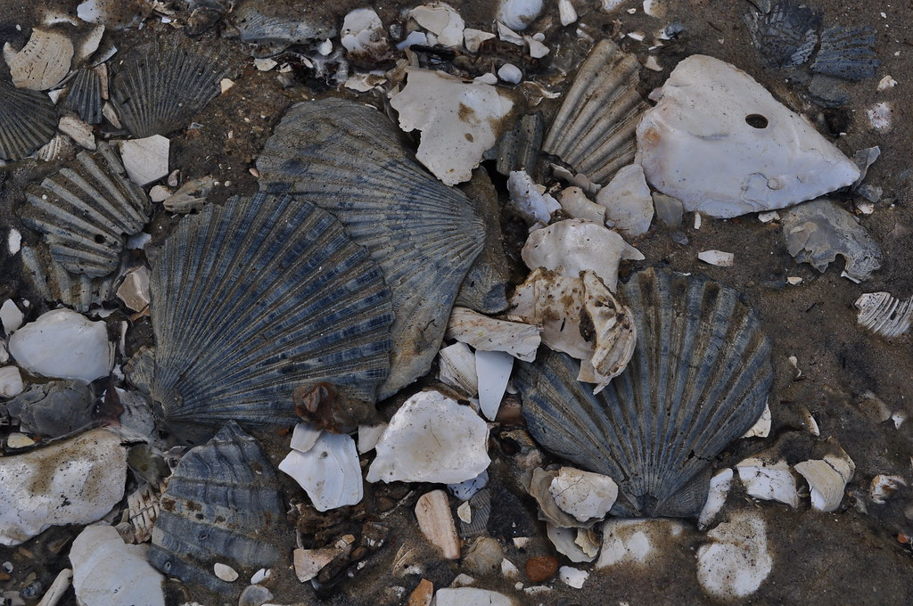 Chesapecten jeffersonius 2