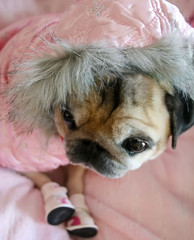 Pug In Pink Parka & Sneakers
