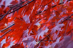Sea of Red (HipChicklette (perenially catching up)) Tags: autumn trees red tree fall nature colors beauty leaves leaf maple energy bokeh vibrant foliage japanesemaple