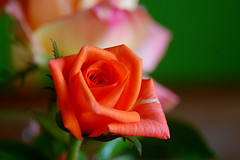 Dias das mes... Mother's Day : ) (Eduardo Amorim) Tags: brazil flower southamerica field rose brasil flor rosa campo pelotas blume fiore riograndedosul pampa champ brsil amricadosul amriquedusud sudamrica suramrica amricadelsur sdamerika costadoce americadelsud americameridionale auffangen eduardoamorim