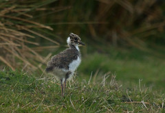Lapwing Chick (Steph Cowie) Tags: bird nature scotland angus wildlife young fluffy glen lapwing