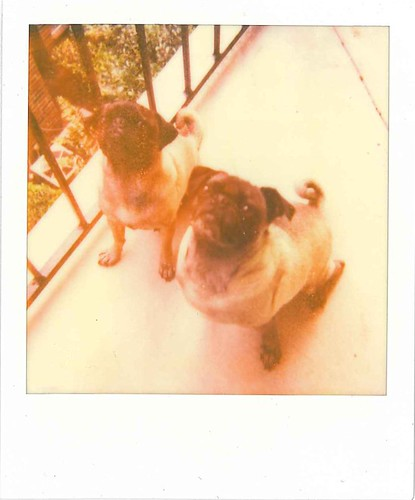 Pugs on Polaroid!