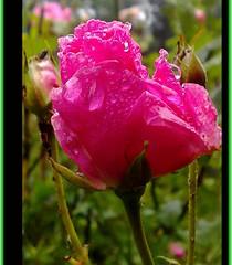 "Beautiful roses in the rose garden. (eagle1effi) Tags: celly macro stuttgart gps exacthybridgeomapped f2856 50megapixel nokia 6220c1 mobilephone phone mobile cellphone cameraphone naturemasterclass blume rose ""carlzeiss"" tessar carlzeisstessar nature foliage blumen natur damncool eagle1effi yourbestoftoday flower fiori fiore flowers sprühregen drizzle llovizna bruine pioviggine motregen tagesbeste ae1fave favoriten lieblingsbilder flickr photos fotos beste bestof byeagle1effi selection selektion auswahl effiart kunst erwin effinger edition art artistic digitalretouched ppc"