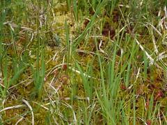 Mes, Landes, tourbire, Drosras (Marie-Hlne Cingal) Tags: france southwest pantano 40 moor bog sundew drosera landes sudouest aquitaine sonnentau torbiera tourbire drosra