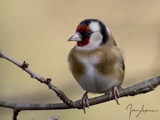 Goldfinch study ( 3 )