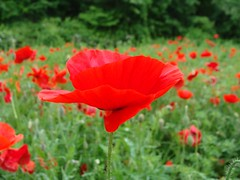 Red poppy flower, side view