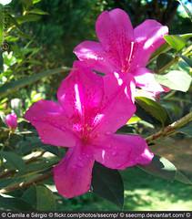 Azalea (Camila Geek Girl) Tags: pink light flower verde green luz nature blossom natureza flor rosa azalea    azalia florzinha  azala    azlea