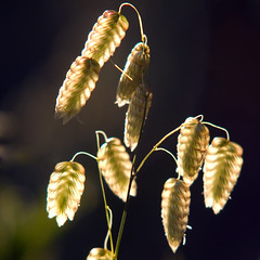 Golden Grass (Kenny Boy1) Tags: sunset grass backlighting quakinggrass 310509