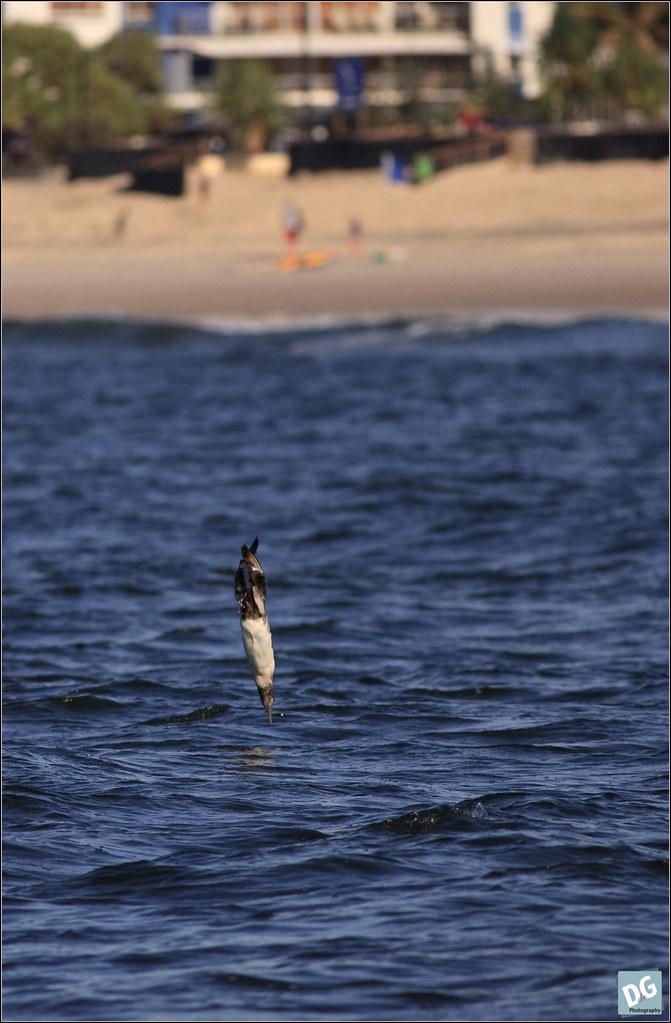 immature Australasian Gannet diving