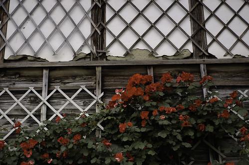 二宮家の薔薇