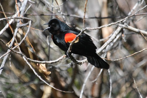 Red-winged Balckbird