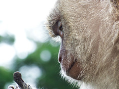 Hmmm, this seems to be opposable... (chrisgannon) Tags: face fur monkey gtv thumb andaman macaque gannontv