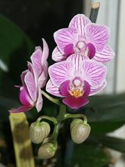 Doritaenopsis Sogo Vivien Sweet Heart