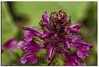 Colorshock (Thomaniac) Tags: plant alps flower macro closeup canon eos natur pflanze alpen nahaufnahme efs60mmmacro lens00025 450d thomaniac