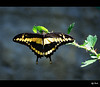 Papilio thoas (Explore) (alfvet) Tags: macro nature butterfly nikon natura d60 farfalle oasidisalessio abigfave theunforgettablepictures betterthangood macrolife theperfectphotographer excapturemacro tup2 veterinarifotografi vosplusbellesphotos platinumpeaceaward