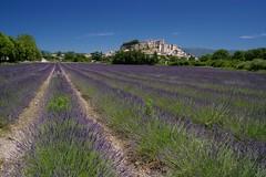 Provence purple (Johan_Leiden) Tags: france town south lavender historical frankrijk provence lavande horticulture lavendel grignan lavendre lavandulaangustifolia frankrijkselectie