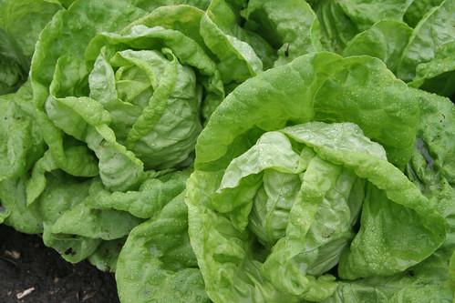 Boston lettuce heads