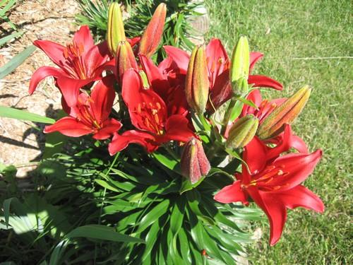 redcarpetlily