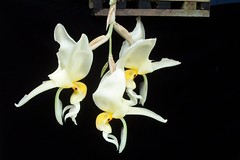 Stanhopea embreei (dwittkower) Tags: orchid flower flora orchids orchidaceae stanhopea species orquideas orchidée orqudea