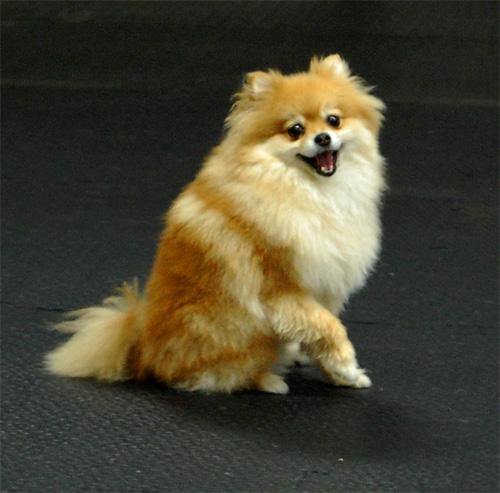 Princeton - Pomeranian