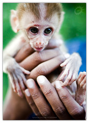 Baby Gollum? :) (Yug_and_her) Tags: life travel baby india lake holiday cute fur monkey eyes hands nikon infant dof little places incredible andhrapradesh warangal d90 pakhal