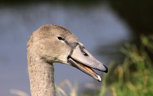 09-08-08 Mute Swan Cygnet