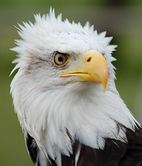Stern looking Eagle. (tracyhughes2_7.) Tags: brown white bird eye k eagle beak stern digitalcameraclub mywinners abigfave thesuperbmasterpiece 100commentgroup thewonderfulworldofbirds saariysqualitypictures newgoldenseal