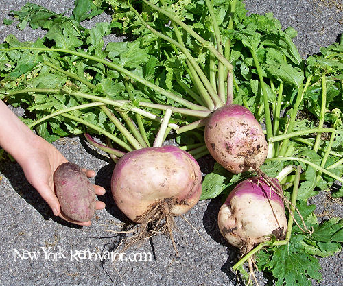 Giant Turnips